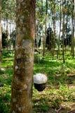 Gumowych drzew gospodarstwo rolne Zdjęcia Royalty Free