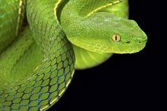 Gumprecht's green pitviper (Trimeresurus gumprechti ) Stock Images