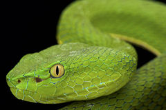 Gumprecht's green pitviper (Trimeresurus gumprechti ) Royalty Free Stock Photo