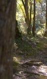 Gumtree森林 库存照片