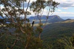 gumtree的蓝山山脉澳大利亚鹊 免版税库存照片