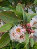 Gumtree cor-de-rosa Fotos de Stock