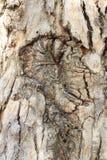 Gumtree della corteccia Fotografie Stock