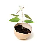 Gumtree growing from egg Stock Photo