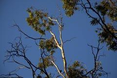 Gumtree na luz da tarde Foto de Stock Royalty Free