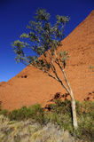 Gumtree in the outback Stock Image