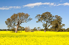 Gumtrees and canola - Grampians Royalty Free Stock Images