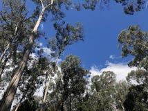Gumtrees en un cielo azul foto de archivo libre de regalías