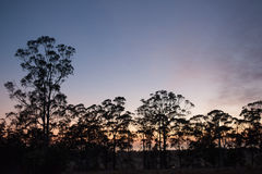 Gumtrees at first light Stock Photography