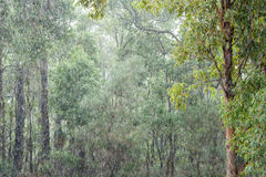 Gumtrees in the Pouring Rain Royalty Free Stock Images