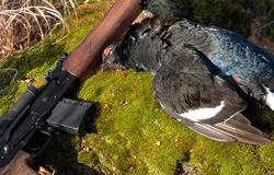 Gun and a black grouse. Gun and black grouse on a background of a birch Stock Photo
