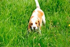Gun dog Beagle Royalty Free Stock Image