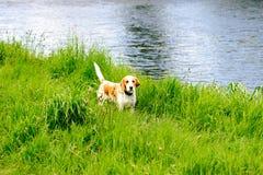 Gun dog Beagle Stock Photography