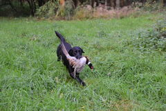 Gun dog Stock Image