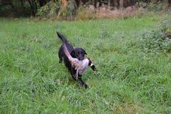 Gun dog. Black labrador with cock pheasant Stock Image