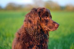 Gun dog in field. Brown working cocker spaniel portrait in a field at sunset royalty free stock photography