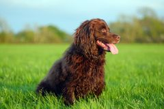 Gun dog in field. Brown working cocker spaniel portrait in a field at sunset stock images