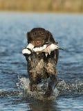 Gun Dog Royalty Free Stock Image