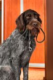 Gun dog with a leash in his teeth at the door. Gun dog asks for a walk, with a leash in his teeth, near the door stock image