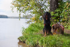 Gun dog near to shot-gun and trophy, outdoors Royalty Free Stock Image