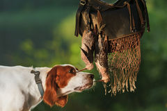 Gun dog near to trophies Stock Images