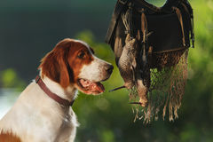 Gun dog near to trophies Royalty Free Stock Photos