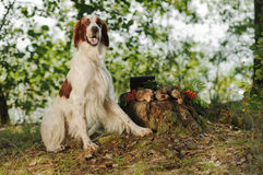 Gun dog near to trophies, horizontal, outdoors Royalty Free Stock Photos