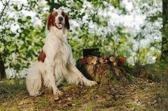 Gun dog near to trophies, horizontal, outdoors Royalty Free Stock Photos