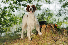 Gun dog near to trophies, horizontal, outdoors Royalty Free Stock Images