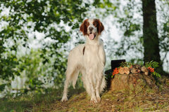 Gun dog near to trophies, horizontal, outdoors Royalty Free Stock Image