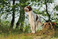Gun dog near to trophies, horizontal, outdoors Royalty Free Stock Photo