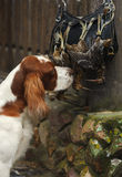 Gun dog near to  trophies Royalty Free Stock Photo
