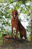 Gun dog near to trophies Stock Photo