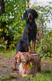 Gun dog near to  trophy, outdoors Royalty Free Stock Image