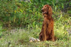Gun dog near trophies on green background. Irish red setter near trophies on green background, horizontal, outdoors royalty free stock images