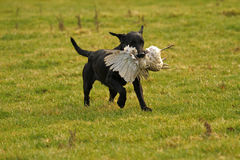 Gun Dog Retrieive Stock Photography
