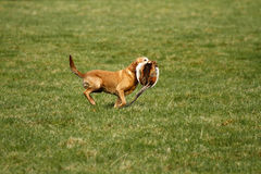 Gun dog retrieve Stock Image