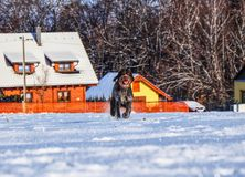 A gun dog running across frozen meadow for her owner. Beautiful training and listening her owner. A cesky fousek running in snow. And enjoy it royalty free stock images