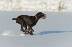 Gun dog runs on snow, horizontal Royalty Free Stock Photography