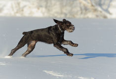 Gun dog runs on snow, horizontal Royalty Free Stock Image