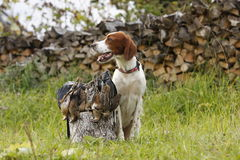 gun dog with trophies Stock Photography