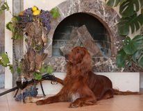 Gun dog with trophies Stock Images