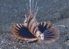 Gunard Lionfish toont zijn pectoral vinnen Stock Foto's