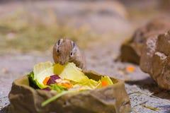 Gundis eet plantaardige dichte omhooggaand royalty-vrije stock foto