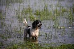 Gundog en agua fotografía de archivo