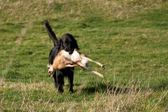 Gundog retrieving a hare Stock Photos