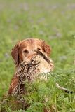 Gundog retrieving a pheasant Stock Photos