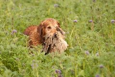 Gundog retrieving a pheasant Stock Photography