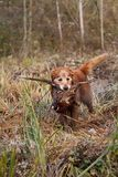 Gundog retrieving a pheasant Stock Photo