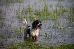 Gundog in water Stock Photography